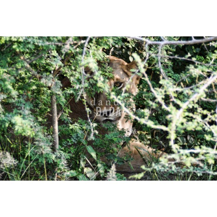 #Leonessa #animal #picture #safari #bigcat #wild #photo