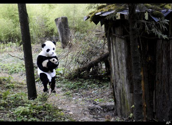 China Panda, huffingtonpost.com: A 4 mo old panda cub is picked up by a researcher disguised as a giant panda. (Woolong Giant Panda Reserve Center, China, 2010) (AP Photo) CHINA OUT  #Panda #China #Woolong_Panda_Reserve_Center #huffingtonpost: Pandas Reservation, Baby Pandas,  Pandas Bears, Pandas Cubs, Panda Costumes, China Pandas, Giant Pandas, Pandas Costumes, Pandas Carrie