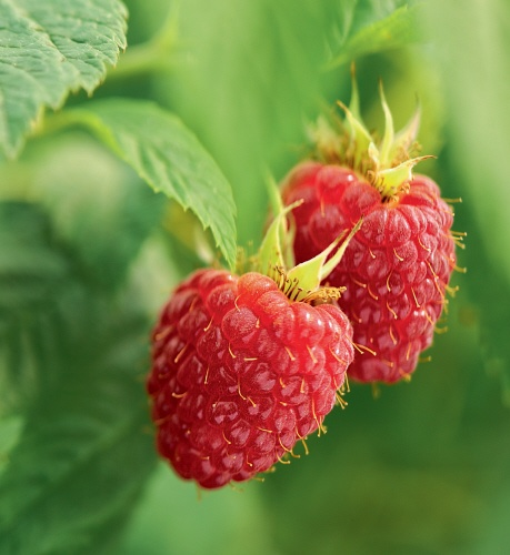 Yves Rocher uses organic Raspberries in its Plaisirs Nature products: their mild and joyful scent give your skin an exquisitely optimistic and stimulating smell!