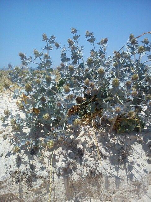 Flowers on the beach. Fuseta algarve