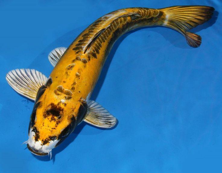 Live koi fish 14 15 doitsu kin matsuba yellow ghost for Yellow koi fish