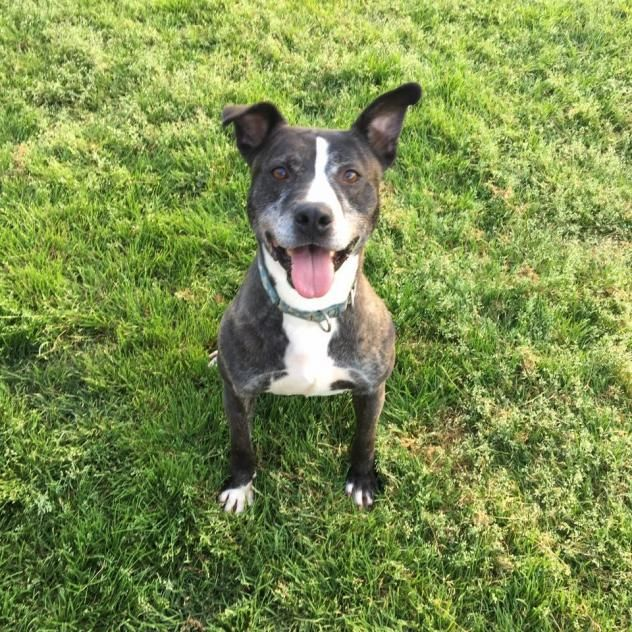 Adopt Marvin On Cute Dogs Pitbull Terrier Dog List