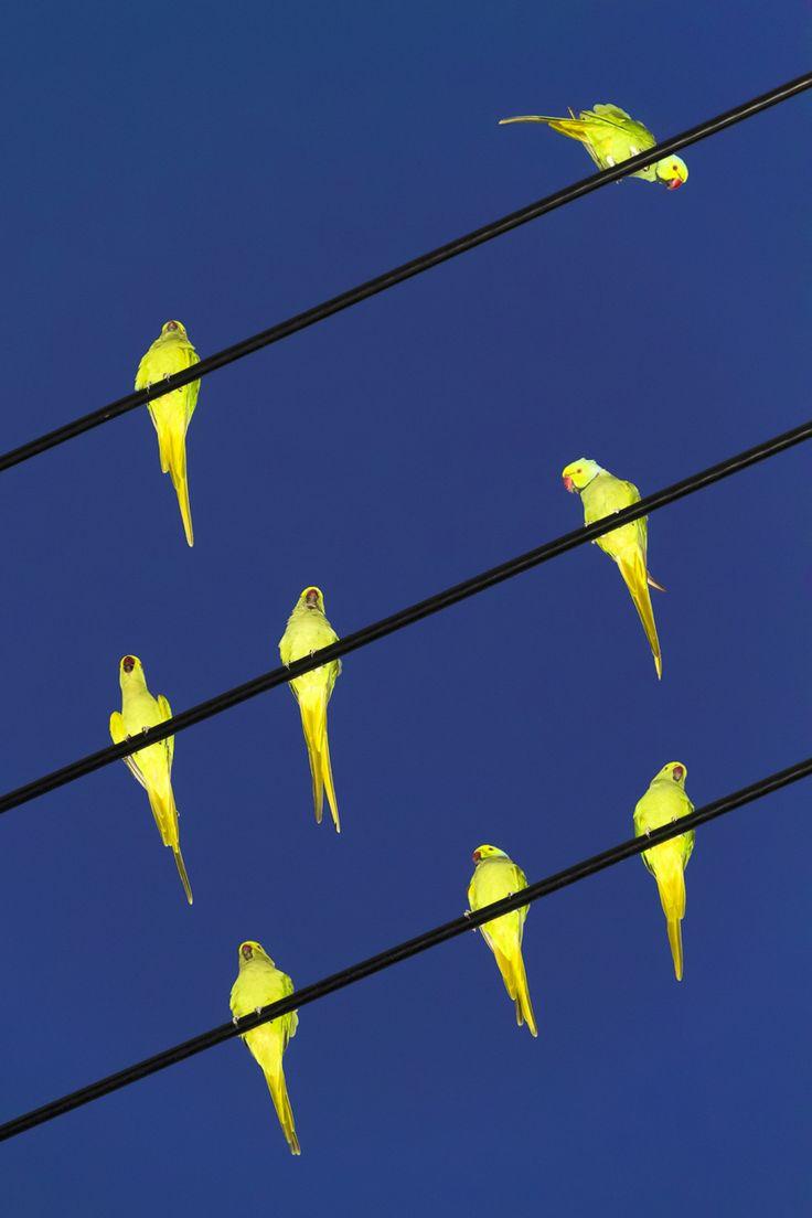 Tokyo Parrots by Yoshinori Mizutani.