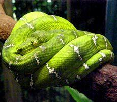 Vancouver Aquarium: Green Anaconda #reptile #snake