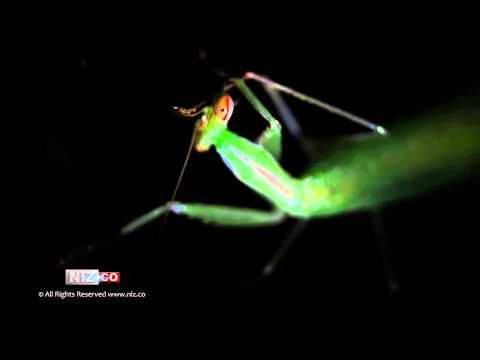 Praying Mantis Cleaning - Royalty FREE Stock Footage HD 1080p. No insect was harmed during the filming of this footage! Watch how this amazing creature clean itself as it was in front of our macro lens..  Like us and subscribe to our channel on YouTube to stay updated with our latest uploads!!