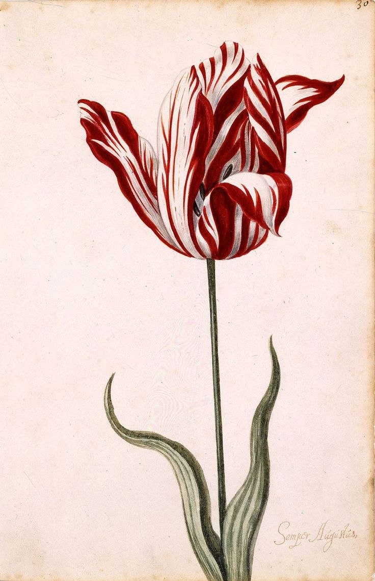 """Tulip Breaking Virus by wikipedia:  The virus infects the bulb and causes the cultivar to """"break"""" its lock on a single color, resulting in intricate bars, stripes, streaks, featherings or flame-like effects of different colors on the petals. The drawing is of Semper Augustus, the most expensive tulip sold during the tulip mania in the Netherlands in the 17th century. #Flowers #Tulips #Tulip_Breaking_Virus"""