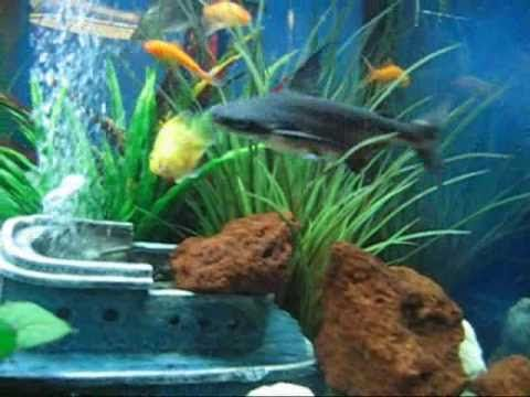 25 best ideas about freshwater aquarium sharks on for Fish tank sharks