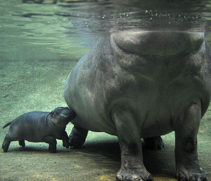 I freakin' love hippos. If they didn't get so big, I would totally have one as a pet.