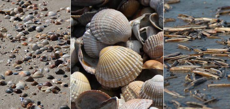 Schelpen oefenen een ware aantrekkingskracht uit op menig kustbezoeker en zeker op de spelende kinderen langs het strand. De verleiding om tijdens een strandwandeling een mooie exemplaar uit te zoeken is groot. Zelf heb ik intussen een kleine verzameling van schelpen en fossielen die ik als reissouvenir uit verschillende landen heb meegebracht. Als je ze even van dichterbij bekijkt zijn het allemaal pareltjes van de natuur.