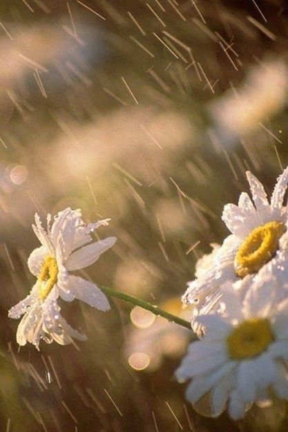 Rain and daisies. Two of my favorite things.