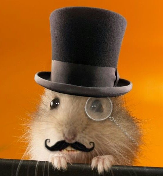 23 Best Images About Silly Hat Things On Pinterest: 57 Best Cool Hamster Stuff Images On Pinterest