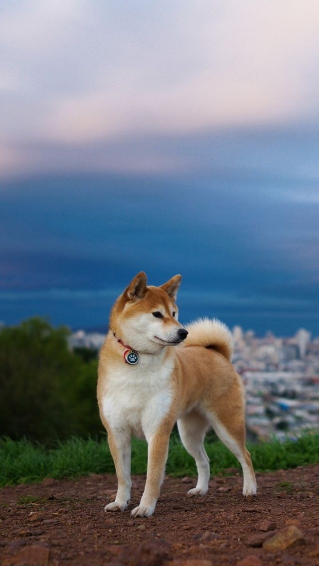 All sizes | akita_inu_hill_dog_nature_67251_640x1136 | Flickr - Photo Sharing!