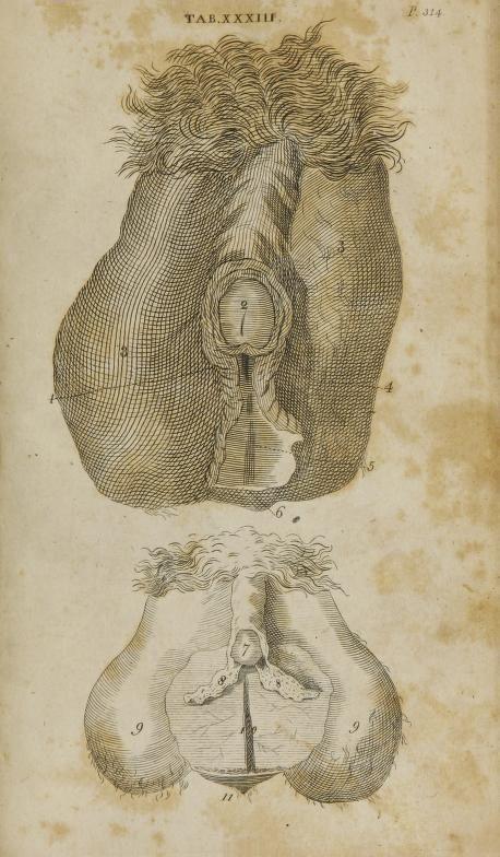 Anatomy of hermaphrodite