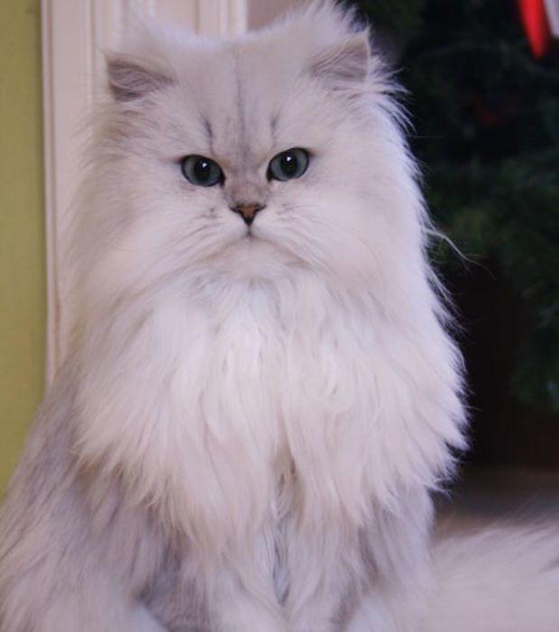Foto : Um gato Persa, com o pelo branco como a neve