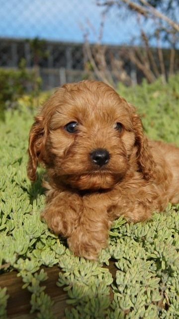 George as a Cavoodle puppy at Banksia Park Puppies.