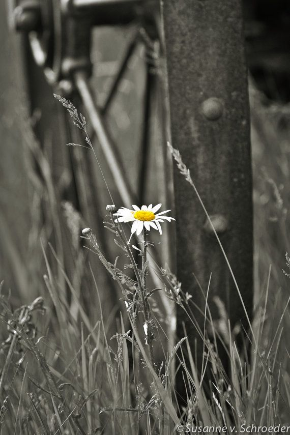 Single Daisy in Black & White, Splash of Color