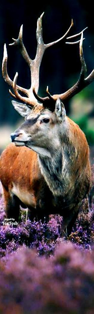 ❇Téa Tosh❇ Red Deer In Heather