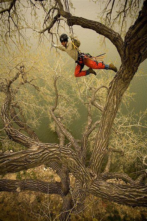 Arborist Professional Tree Climber Swinging Through Tree ...