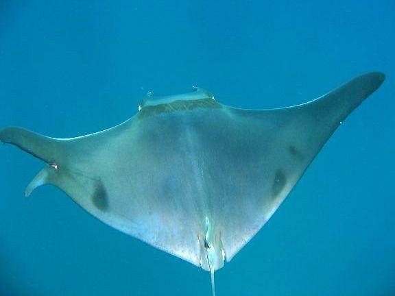 Mobula ray. Costa Rica scuba diving. Buceo.