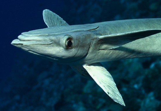 2950 best marinelife images on pinterest animals under for Fish that looks like a rock