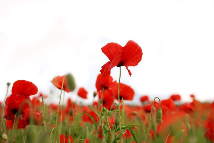 Poppy Field Photo:  This Photo was uploaded by Cinnamonster89. Find other Poppy Field pictures and photos or upload your own with Photobucket free image ...