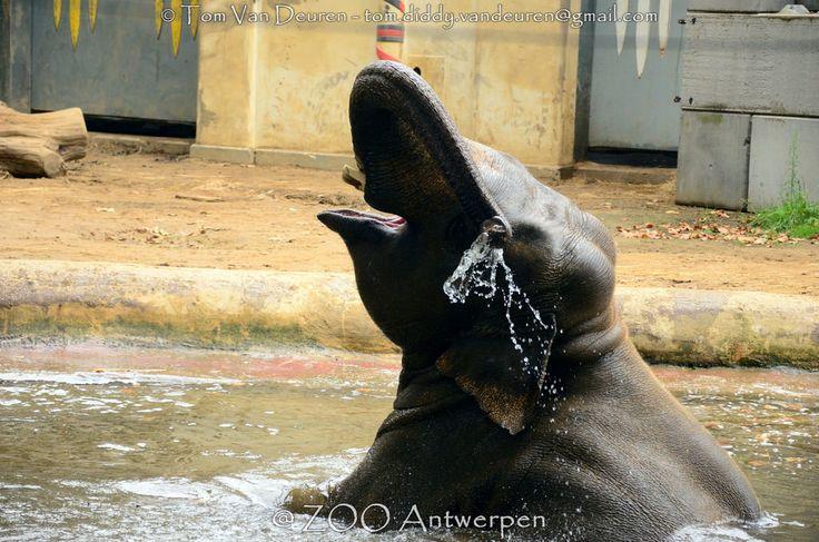 Aziatische olifant - Elephas maximus - Asian Elephant | by MrTDiddy