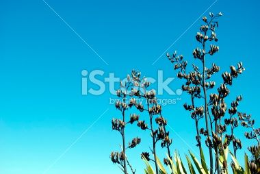 New Zealand Flax (Harakeke) in Flower Royalty Free Stock Photo
