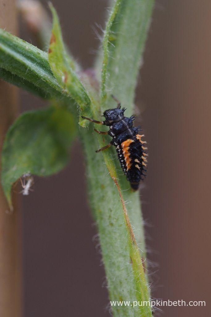A Ladybird larvae residing on a cordon grown Lathyrus odoratus stem.  Pictured during my 2016 Sweet Pea Trial.
