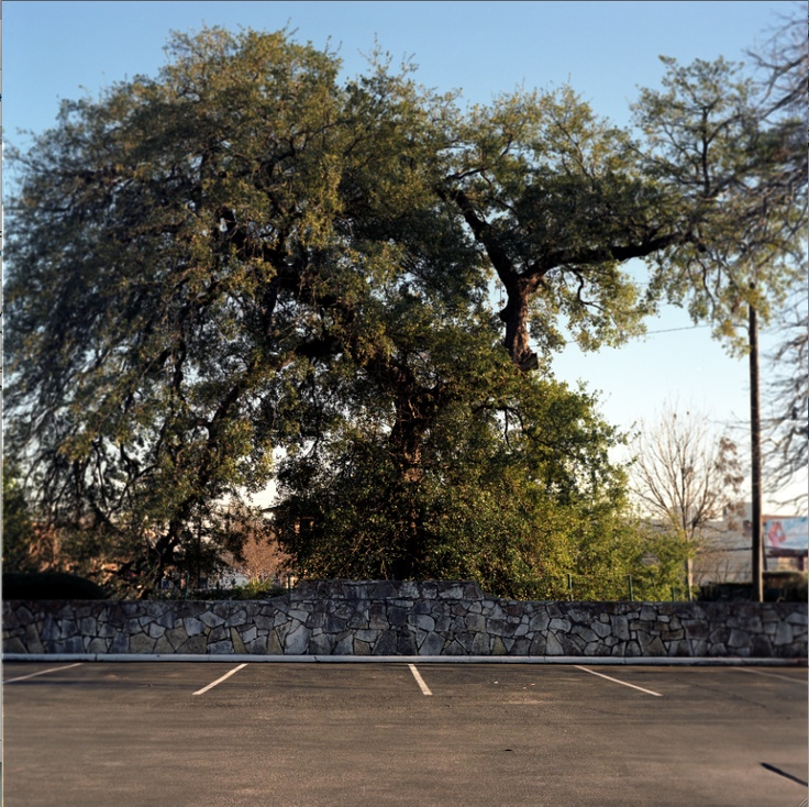 """The old Treaty Oak survived a poisoning. From my new book, """"Living Witness: Historic Trees of Texas"""" See more at livingwitness.net"""