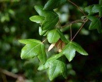 Σφενδάμος ο τρίλοβος Acer monspessulanum