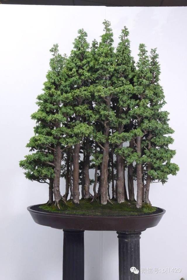 山、石、树皆有灵性,尽现丛林之美 #bonsai