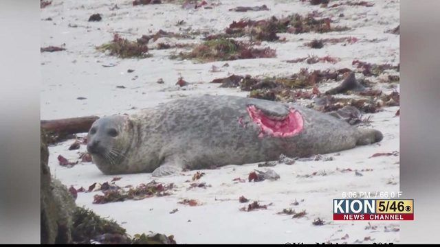 More severe shark bites seen on seals at Hopkins Beach More severe shark bites seen on seals at Hopkins Beach