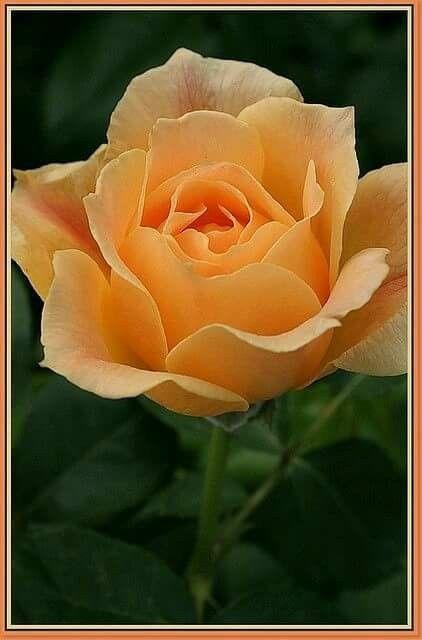 Pin By Gaara Des Sables On Fleur Flowers Beautiful Roses