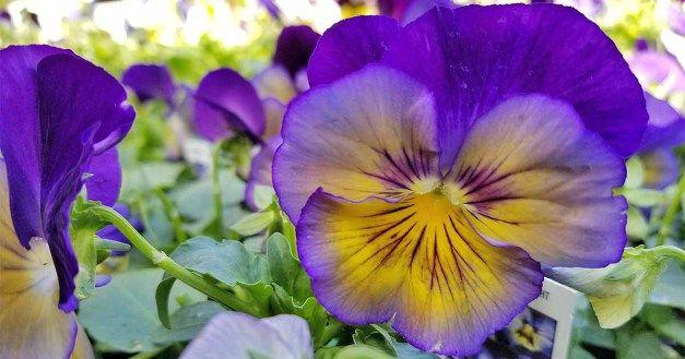 80 Violet Pictures Pansies Flower Meanings Winter Pansies