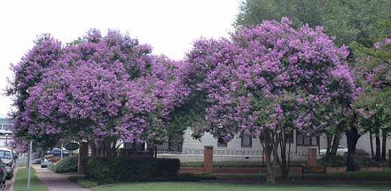 Muskogee Lavender Crape Myrtle. This is what we just bought for the front yard.