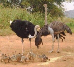 Zimbabwean Blue ostriches with their chicks