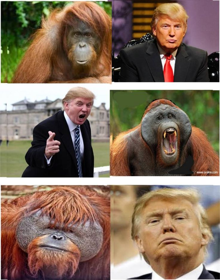 Bill Maher Vs. Donald Trump-Re: An Orangutan. Wadyathink-are the similarities uncanny? Fortunately-the gentle Orangutan has a much more civil disposition! The Orangutan also has large hands!