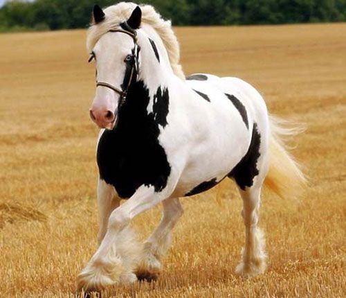 Cavalos Percheron 2 Raça de Cavalos Percheron