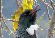 Listen to recordings of New Zealand birds on the Department of Conservation website #nzbirds