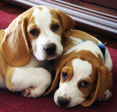 Beagles. Because ... awwww.
