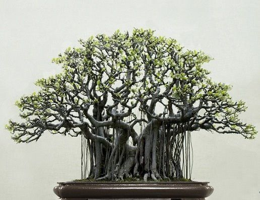 love this for my ficus religiosa tree, or bodhi tree.
