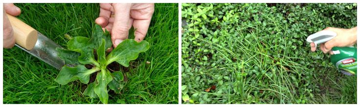 How to Identify and Remove Common Lawn Weeds: Part-II  http://www.greenvalleyirrigation.com/identify-remove-common-lawn-weeds-part-ii/