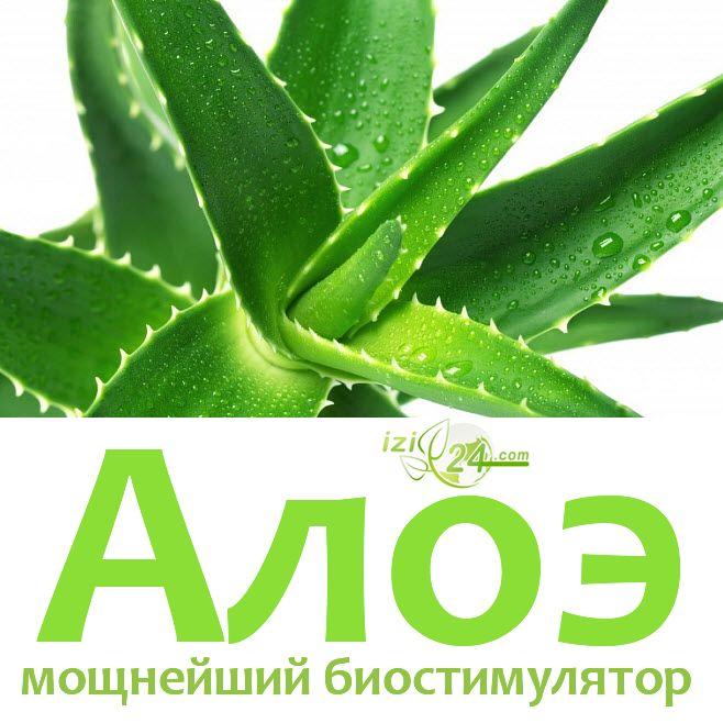 Мощнейший биостимулятор по рецепту Филатова.    Алоэ это чудо-растение, проверенное веками.  Если в доме растет столетник, лучшего лекаря и придумать невозможно. Оно обладает многими функциями: обезболивающей, антимикробной, противовоспалительной, функцией мощного иммуномодулятора (стимулятора), противоопухолевого средства, антиоксиданта.    Оно способно значительно уменьшить численность бактерий в помещении: 2-3 взрослых куста или 7-8 молодых улучшают качество воздуха в 20-метровой жилой…