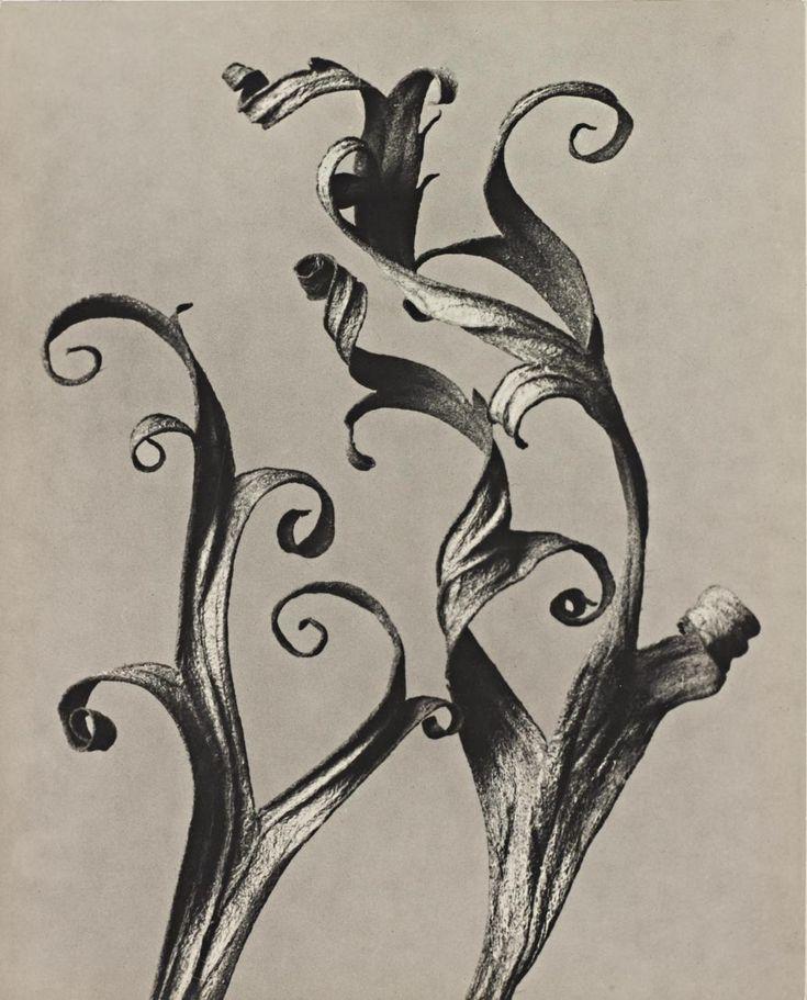 KARL BLOSSFELDT, Delphinium, Rittersporn, 1920-29.