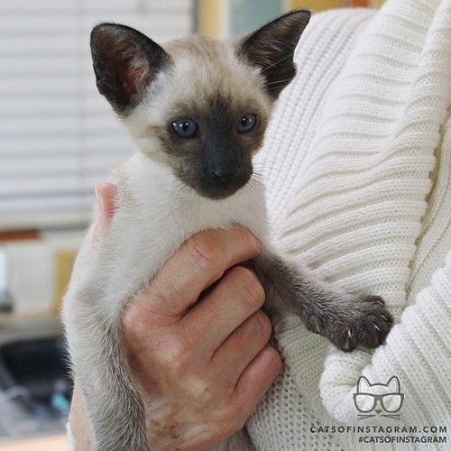 """From @draco_the_siamese: """"I'm Herbie the new kitty..."""