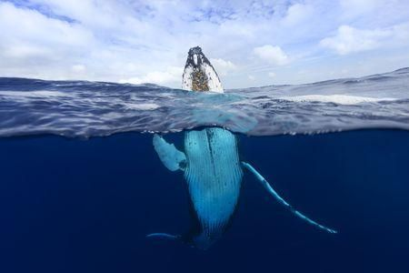 """""""Humpback Whales, Humpback Whale Pictures, Humpback Whale Facts - National Geographic"""""""