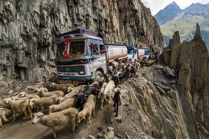 Zoji La, India – Vehicles often traverse alongside livestock on this tiny road, high up on the mountains.