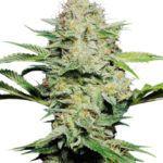 AutoFlower Sensi Skunk Seeds, Autoflowering Cannabis seeds