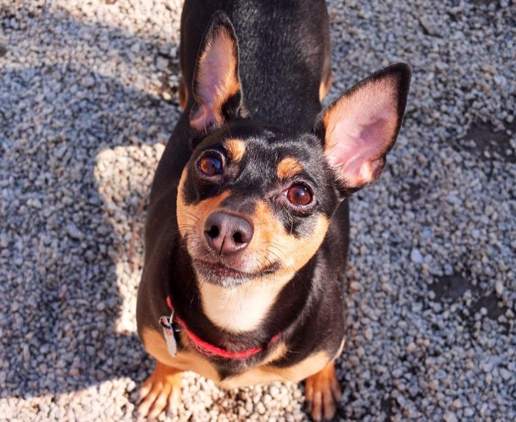 Savannah is a sweet Georgia peach. #rescue #minpin #ATL #Georgia #dog