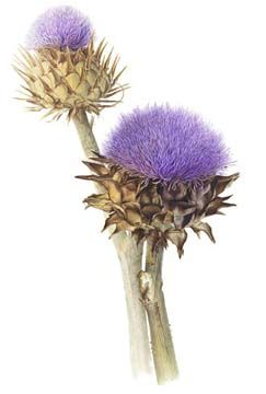 Janet Rieck - Botanical Illustrator